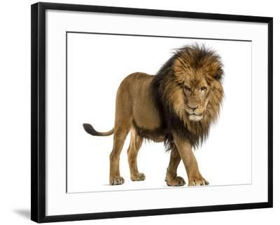 Side View of a Lion Walking, Looking Down, Panthera Leo, 10 Years Old, Isolated on White-Life on White-Framed Photographic Print