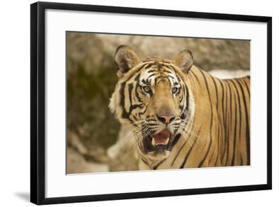Adult Indochinese Tiger.-Dmitry Chulov-Framed Photographic Print