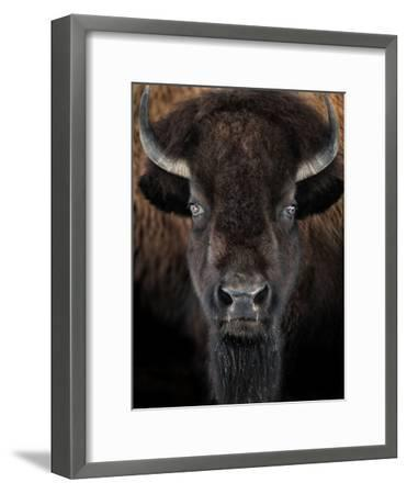 American Bison II-abzerit-Framed Photographic Print