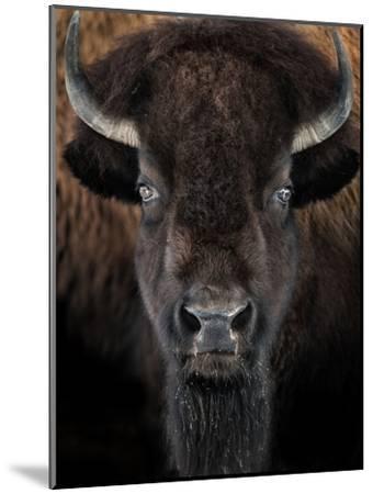 American Bison II-abzerit-Mounted Photographic Print