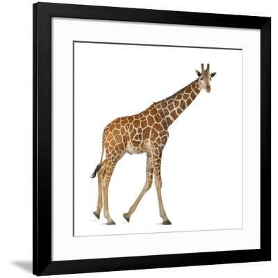 Somali Giraffe, Commonly known as Reticulated Giraffe, Giraffa Camelopardalis Reticulata, 2 and a H-Life on White-Framed Photographic Print