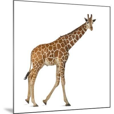 Somali Giraffe, Commonly known as Reticulated Giraffe, Giraffa Camelopardalis Reticulata, 2 and a H-Life on White-Mounted Photographic Print