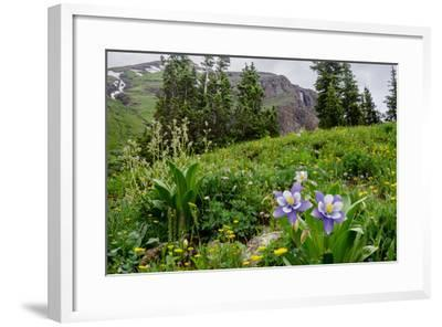 Columbine and Wildflowers in Colorado Mountain Basin-kvd design-Framed Photographic Print