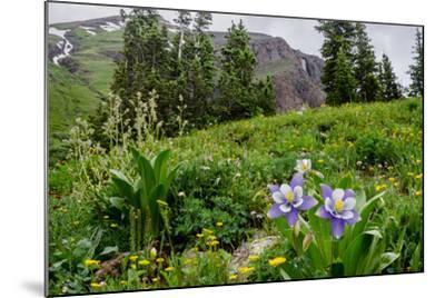 Columbine and Wildflowers in Colorado Mountain Basin-kvd design-Mounted Photographic Print