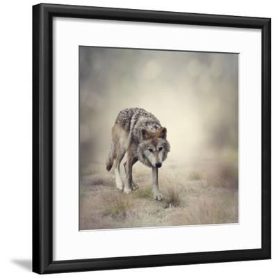 Portrait of Gray Wolf Walking-abracadabra99-Framed Photographic Print
