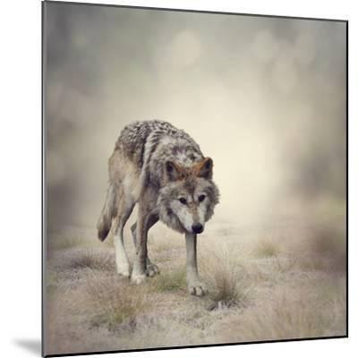 Portrait of Gray Wolf Walking-abracadabra99-Mounted Photographic Print
