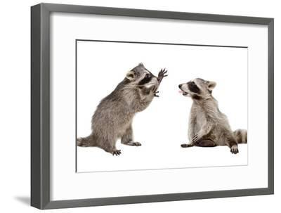 Two Funny Raccoon Playing Together-Sonsedskaya-Framed Photographic Print