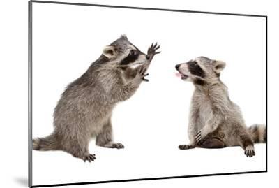 Two Funny Raccoon Playing Together-Sonsedskaya-Mounted Photographic Print