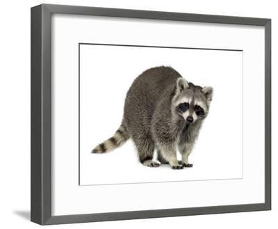 Raccoon (9 Months) - Procyon Lotor-Life on White-Framed Photographic Print