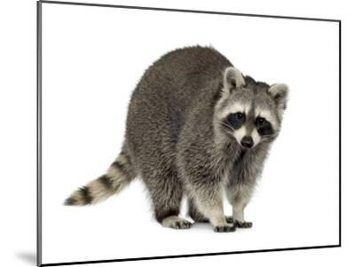 Raccoon (9 Months) - Procyon Lotor-Life on White-Mounted Photographic Print