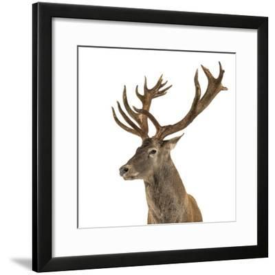 Close-Up of a Red Deer Stag in Front of a White Background-Life on White-Framed Photographic Print