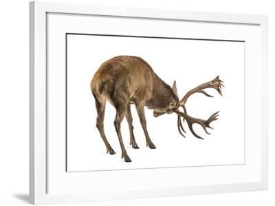 Red Deer Stag in Front of a White Background-Life on White-Framed Photographic Print