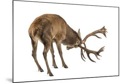 Red Deer Stag in Front of a White Background-Life on White-Mounted Photographic Print