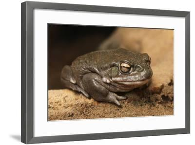 Colorado River Toad (Incilius Alvarius), also known as the Sonoran Desert Toad. Wild Life Animal.-wrangel-Framed Photographic Print