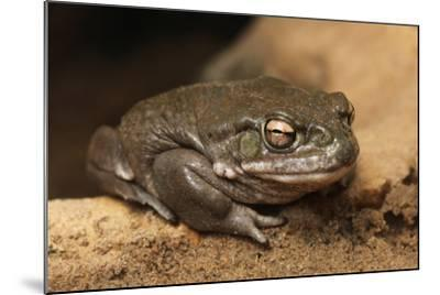 Colorado River Toad (Incilius Alvarius), also known as the Sonoran Desert Toad. Wild Life Animal.-wrangel-Mounted Photographic Print