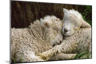 Tukidale Sheep Lambs, Raised for Carpet Wool--Mounted Photographic Print