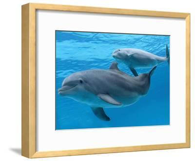 Bottlenose Dolphin Female and Her Calf-Augusto Leandro Stanzani-Framed Photographic Print