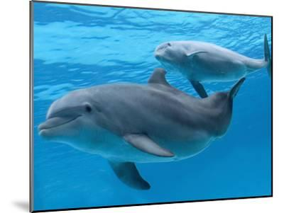 Bottlenose Dolphin Female and Her Calf-Augusto Leandro Stanzani-Mounted Photographic Print