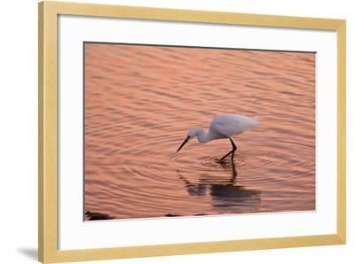 Snowy Egret Feeding in Lagoon at Sunset--Framed Photographic Print