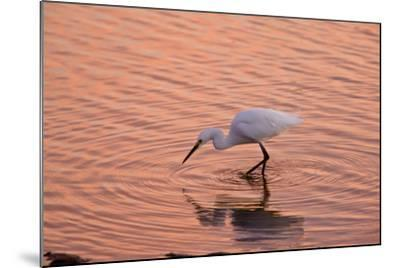 Snowy Egret Feeding in Lagoon at Sunset--Mounted Photographic Print