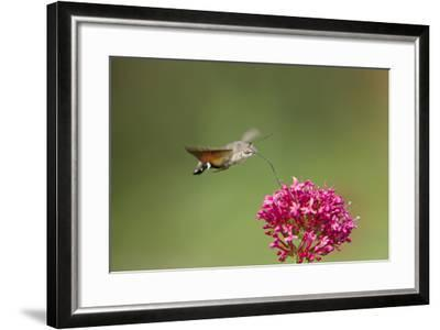 Hummingbird Hawkmoth in Flight Feeding on Valerian--Framed Photographic Print