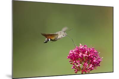 Hummingbird Hawkmoth in Flight Feeding on Valerian--Mounted Photographic Print