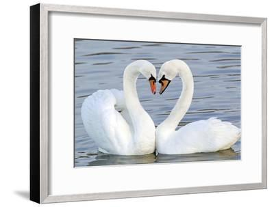 Mute Swan Courtship Display--Framed Photographic Print