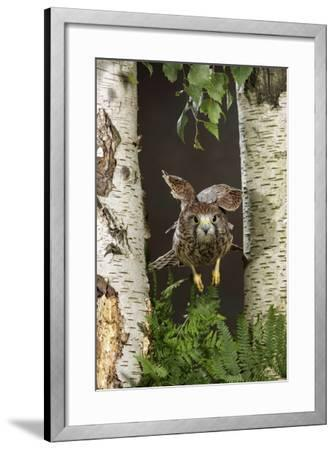 Common Kestrel Flying Between Silver Birch Trees--Framed Photographic Print