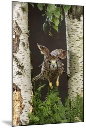 Common Kestrel Flying Between Silver Birch Trees--Mounted Photographic Print
