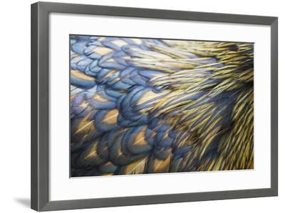 Orpington Gold Laced, Feather Detail--Framed Photographic Print