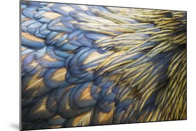 Orpington Gold Laced, Feather Detail--Mounted Photographic Print