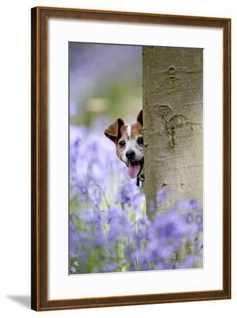 Jack Russell Looking around Tree in Bluebell Wood--Framed Photographic Print
