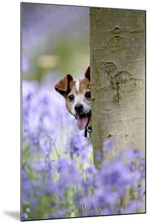 Jack Russell Looking around Tree in Bluebell Wood--Mounted Photographic Print