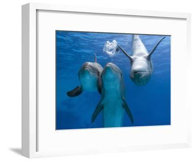 Bottlenose Dolphins, Three Playing Underwater-Augusto Leandro Stanzani-Framed Photographic Print