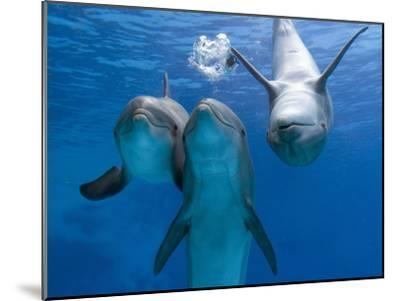Bottlenose Dolphins, Three Playing Underwater-Augusto Leandro Stanzani-Mounted Photographic Print