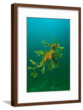 Leafy Seadragon an Example of Brilliant Camouflage--Framed Photographic Print