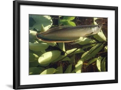 Silver Arawana-Andrea Florence-Framed Photographic Print