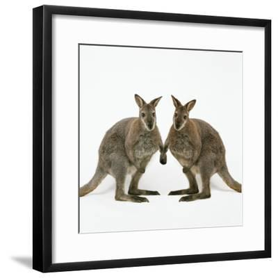 Wallaby X2 Holding Hands-Andy and Clare Teare-Framed Photographic Print