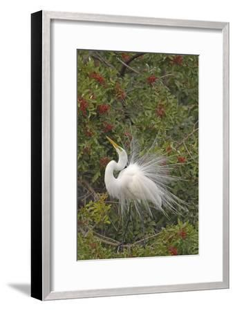 Great White Egret Displaying in Tree--Framed Photographic Print