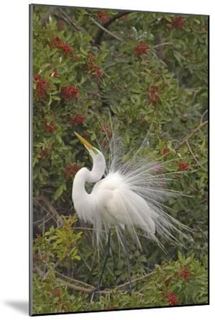 Great White Egret Displaying in Tree--Mounted Photographic Print