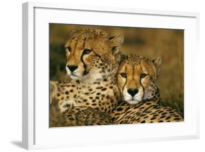 Cheetah Pair--Framed Photographic Print