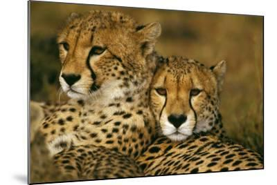 Cheetah Pair--Mounted Photographic Print