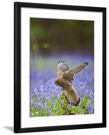 Kestrel Female Landing on Stump in Bluebell Wood--Framed Photographic Print