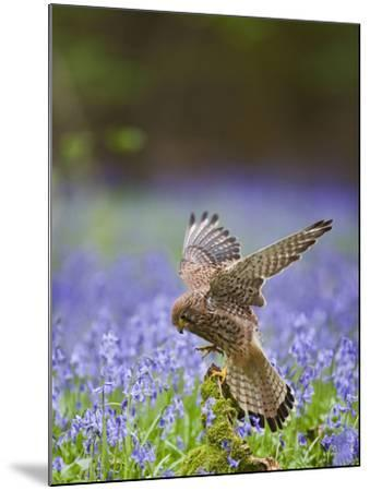 Kestrel Female Landing on Stump in Bluebell Wood--Mounted Photographic Print