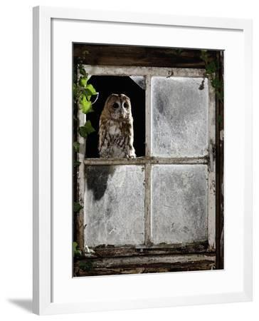Tawny Owl Looking Through Shed Window--Framed Photographic Print