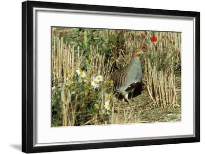 Grey Partridge Male in Stubble with Poppies and Daisies--Framed Photographic Print