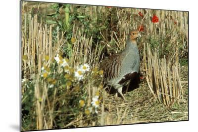 Grey Partridge Male in Stubble with Poppies and Daisies--Mounted Photographic Print