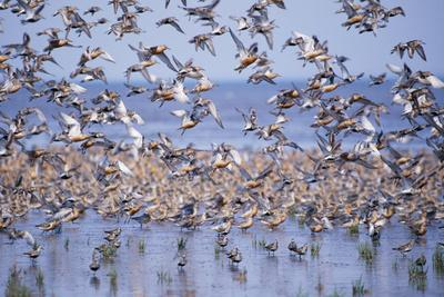 Red Knot Flock in Sea Edge--Framed Photographic Print