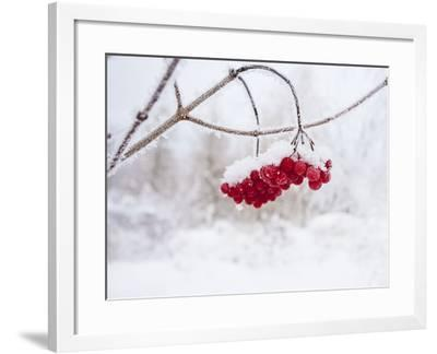 Red Berries in Snow--Framed Photographic Print