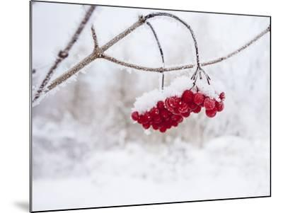 Red Berries in Snow--Mounted Photographic Print